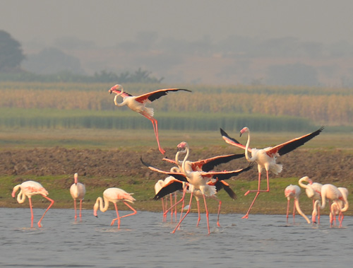 Flamingos at Bhigwan