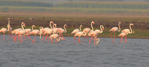 flamingos birds at bhigwan backwaters