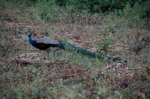 Morachi Chincholi peacock peahen village near pune
