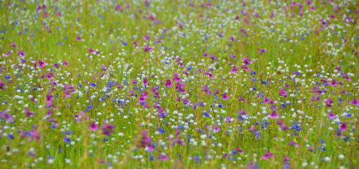 Kaas Plateau Flowers