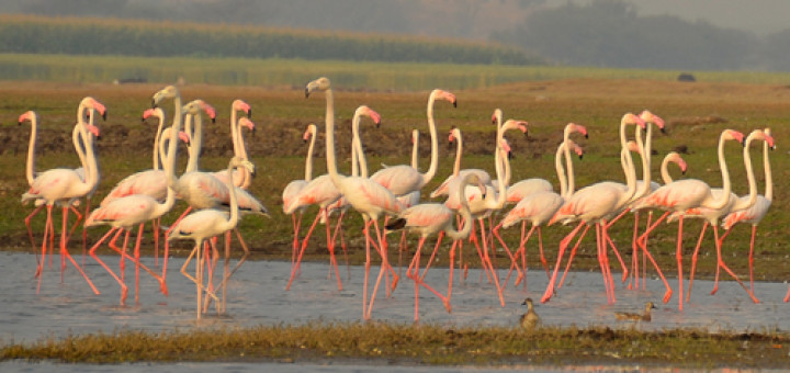 bhigwan_flamingos
