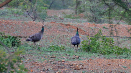 Mayureshwar_Wildlife_Sanctuary_Supe_7