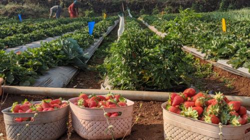 gurusparsh_strawberry_farmstay_resort